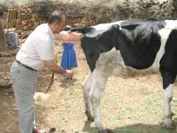 Büyükbaş-Hayvanlarda-Tohumlama_1
