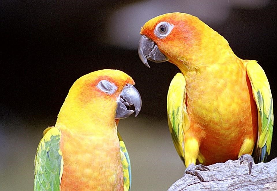 Papağan-resimleri_5