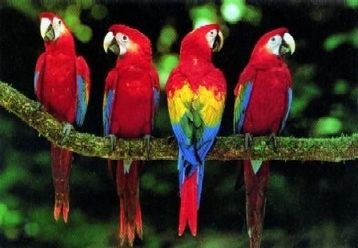 Papağan-resimleri_6