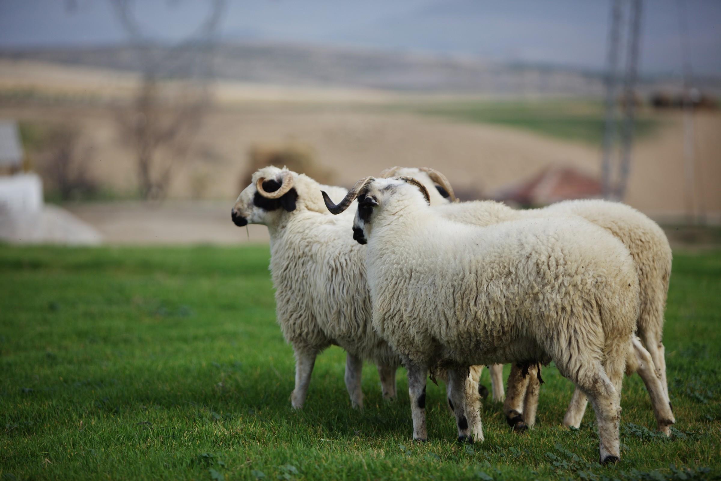 Sakız-koyunu_2