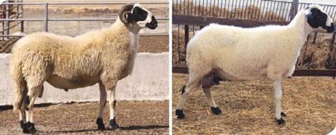 Sakız-koyunu_3
