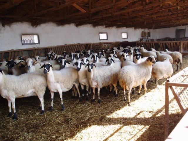 Sakız-koyunu_5