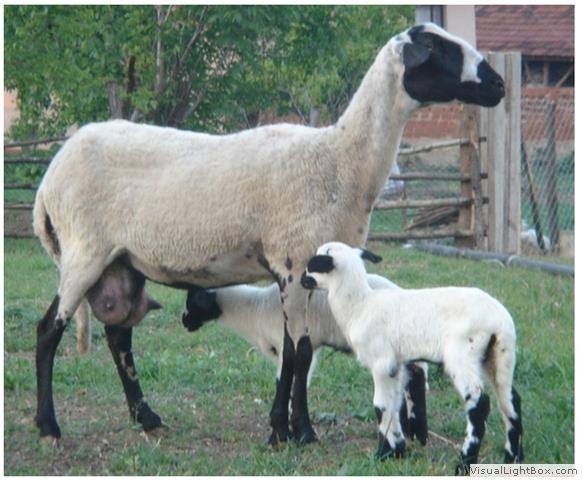 Sakız-koyunu_6