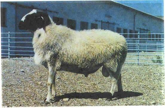 Sakız-koyunu_7