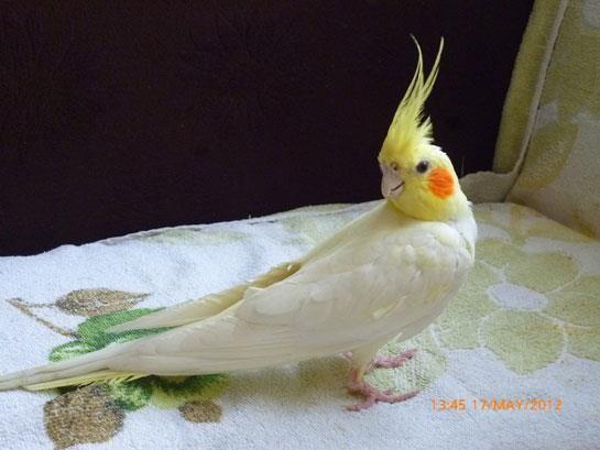 Sultan-Papağanı_2