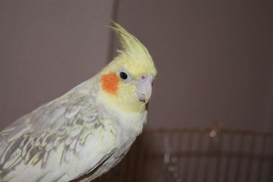 Sultan-Papağanı_3