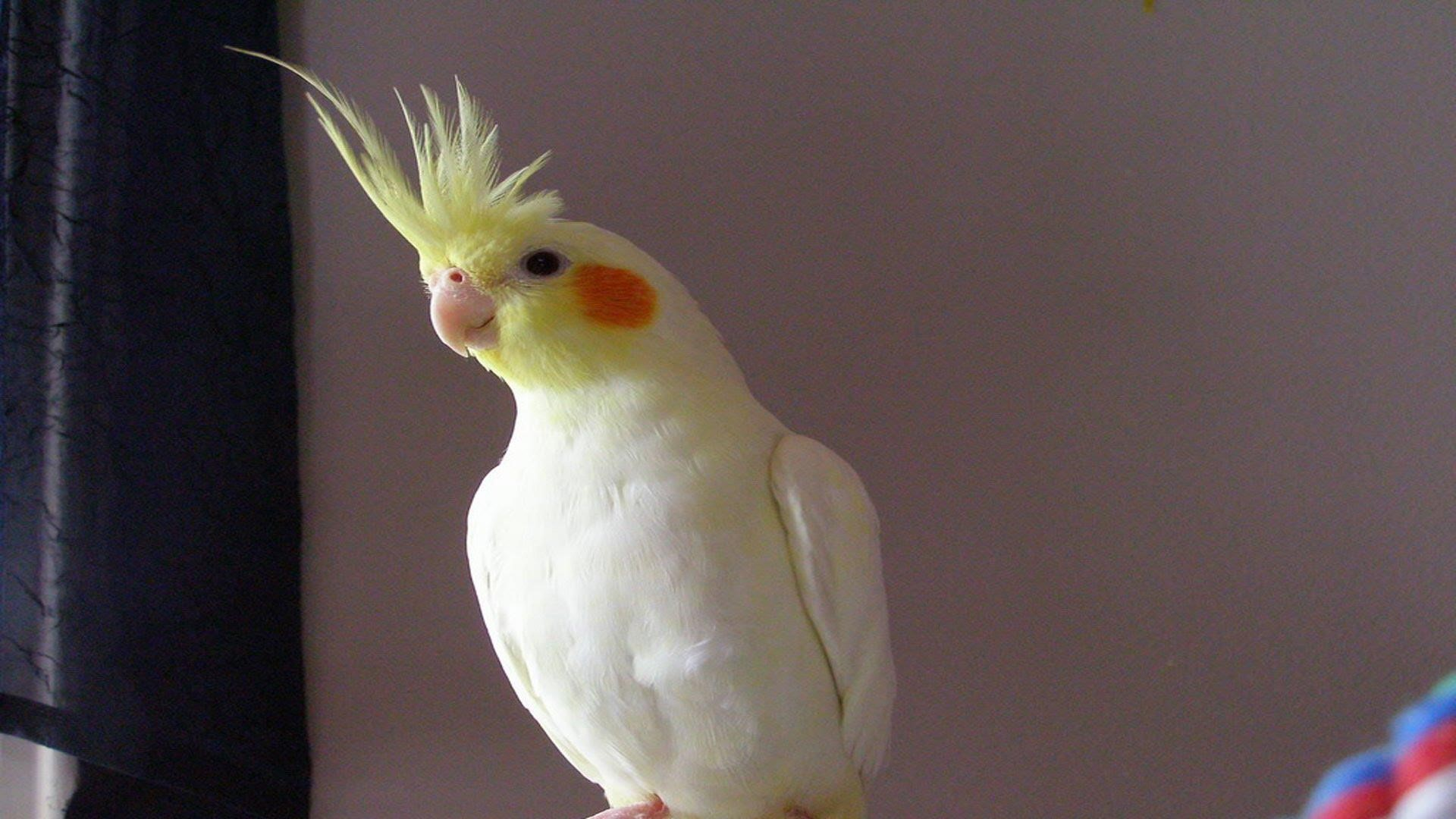 Sultan-Papağanı_4