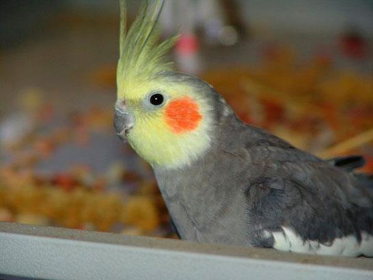 Sultan-Papağanı_5