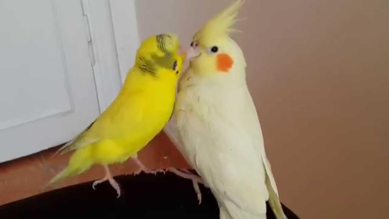 Sultan-Papağanı_6