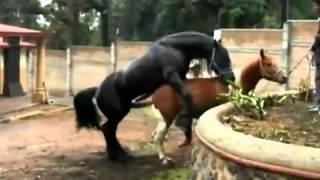 atlarda-çiftleşme_1