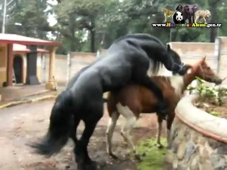 At la sikişen cesaretli kadına 50 cm at yarragı giriyor