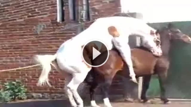 atlarda-çiftleşme_4