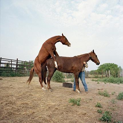 atlarda-çiftleşme_8