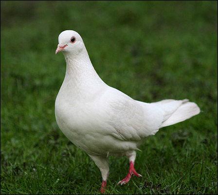 Beyaz güvercin resmi