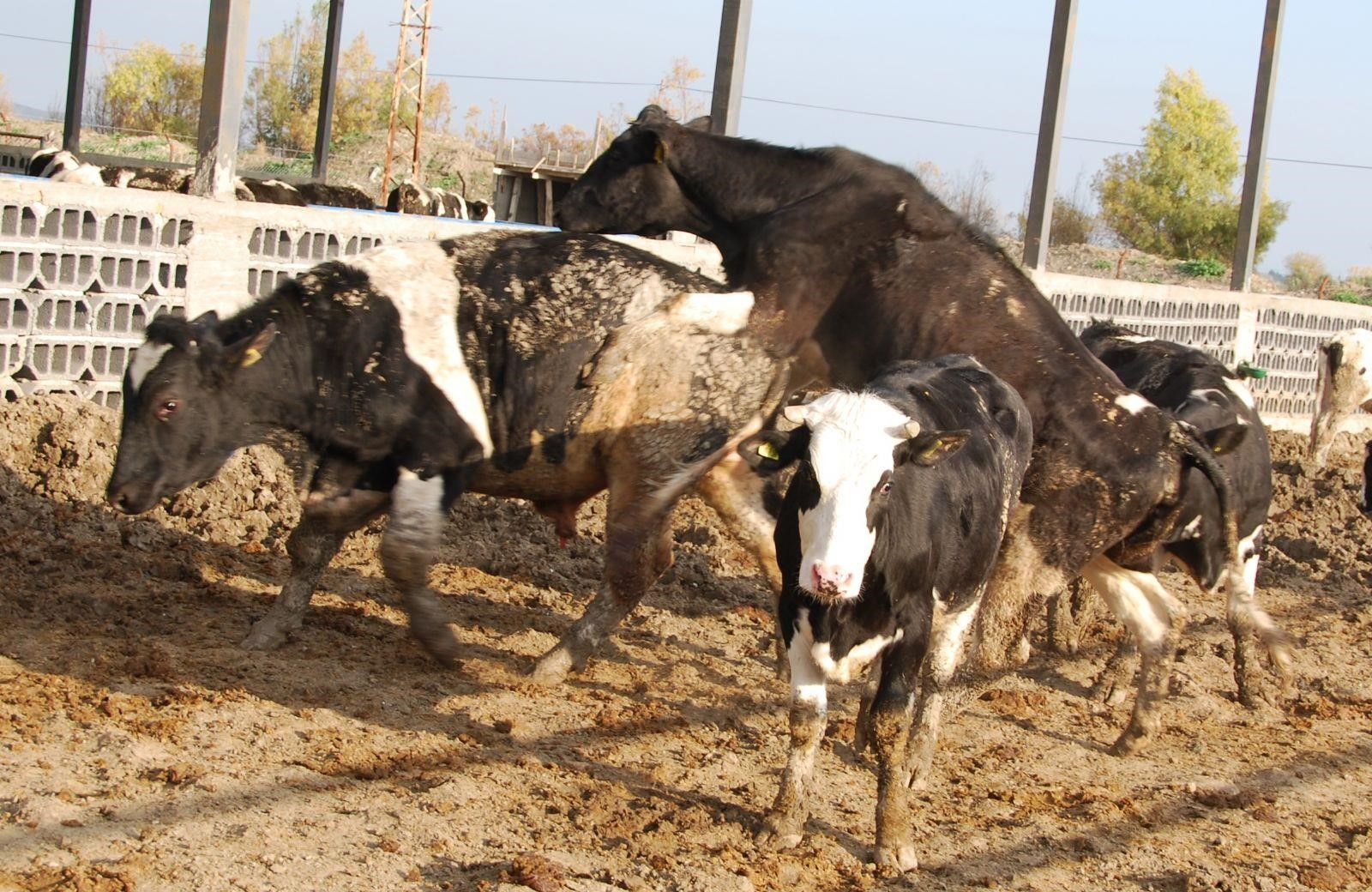 ineklerde-tohumlama_5