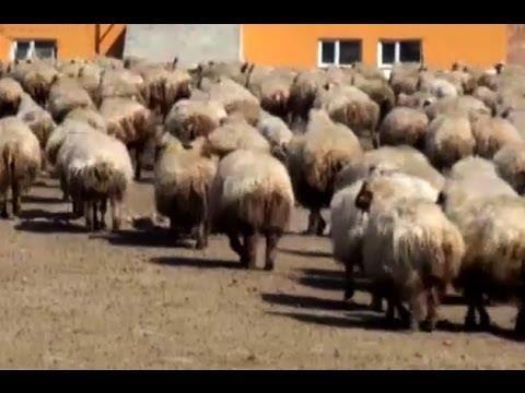 ivesi-koyunu_5