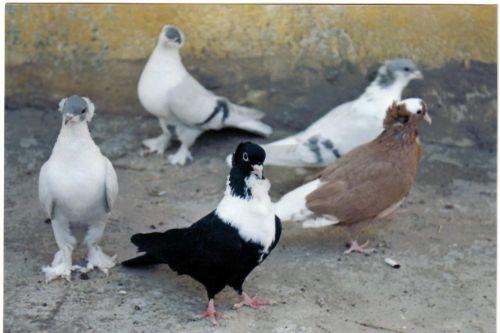 Karışık güvercin resmi