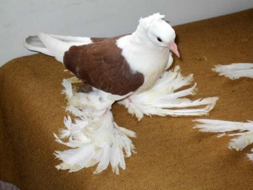 Koca ayaklı güvercin resmi
