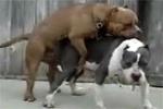 pitbull çiftleşmesi