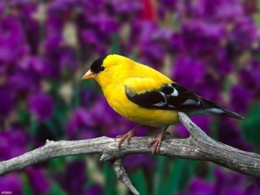 Sarı Kuş resmi