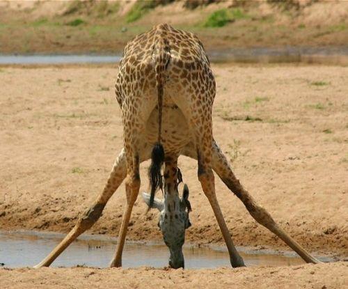 su içen zürafa resmi