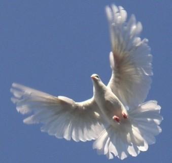 Uçan beyaz güvercin resmi