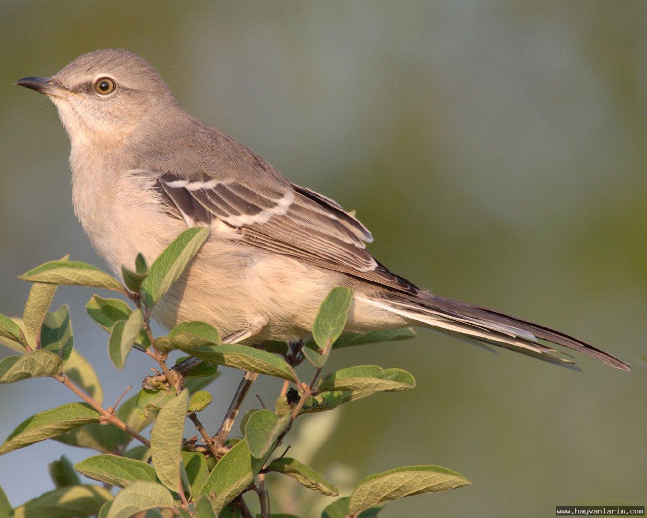 Mimidae alaycı kuş resmi