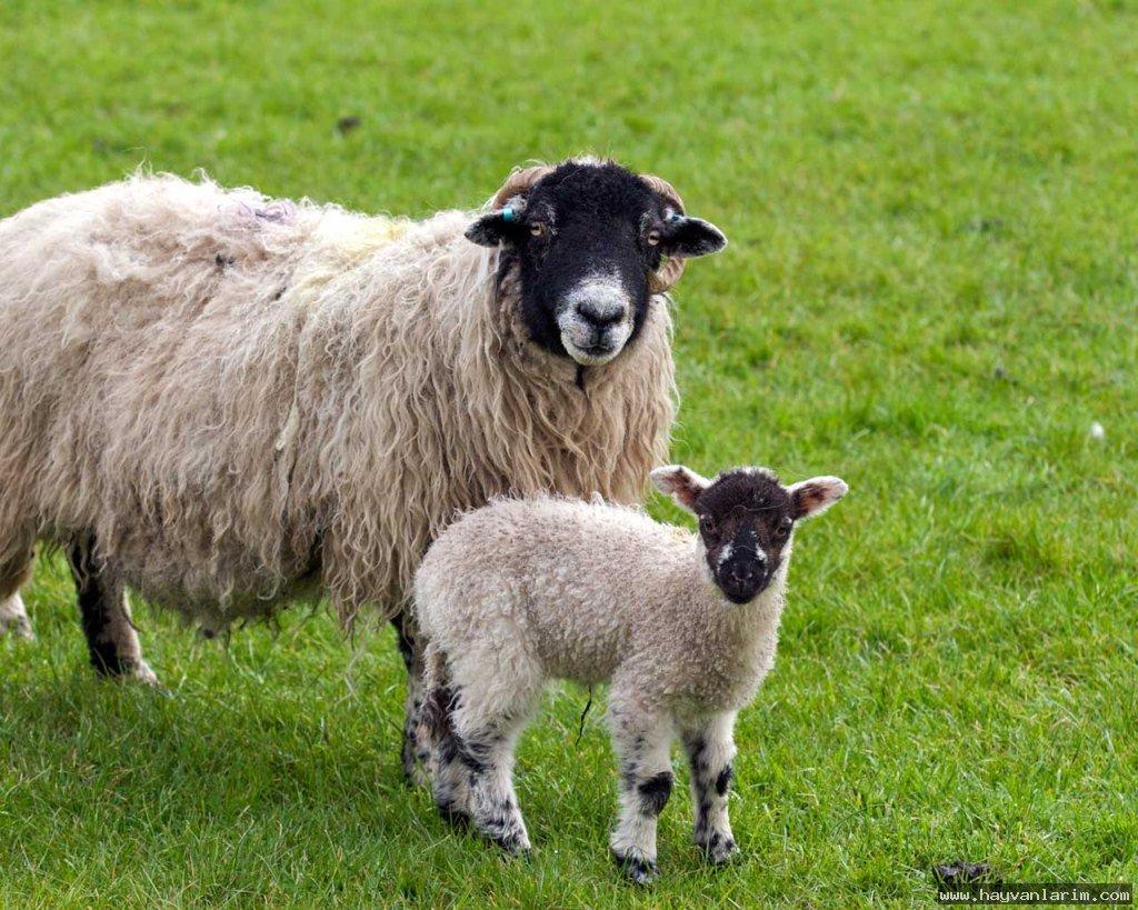 Koyun ve kuzu resmi