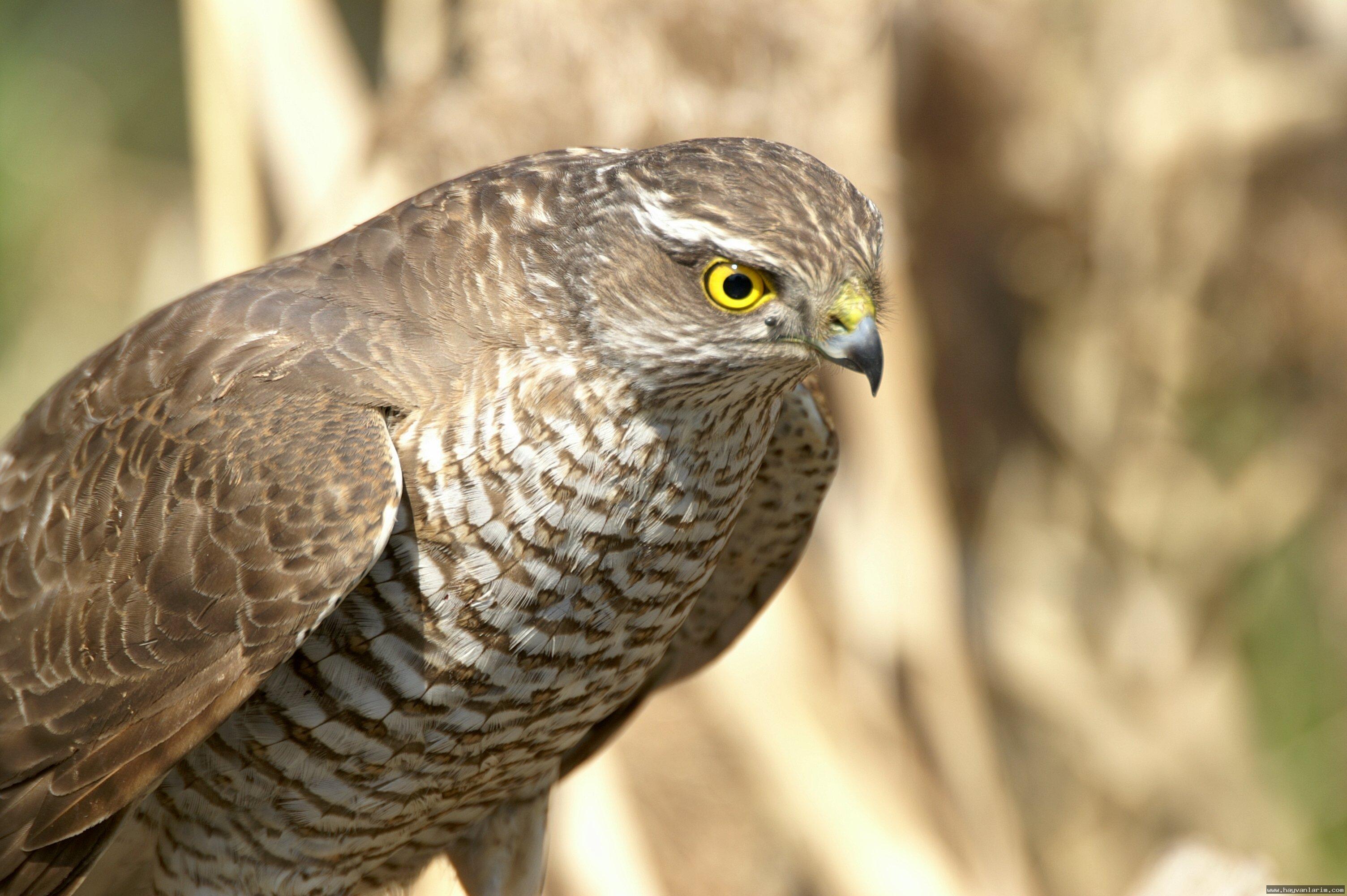 Accipiter nisus kuşu