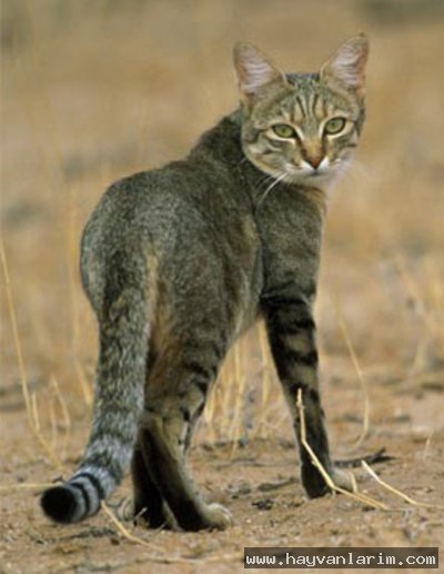 Afrika yaban kedisi