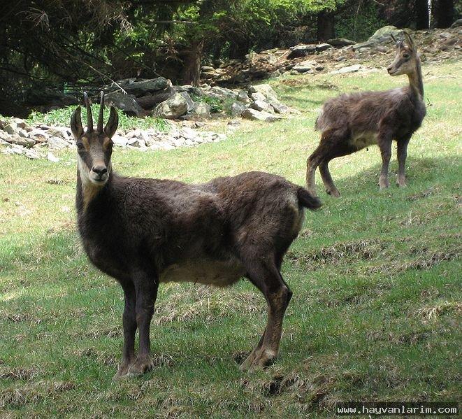 Ak dağ keçi resmi