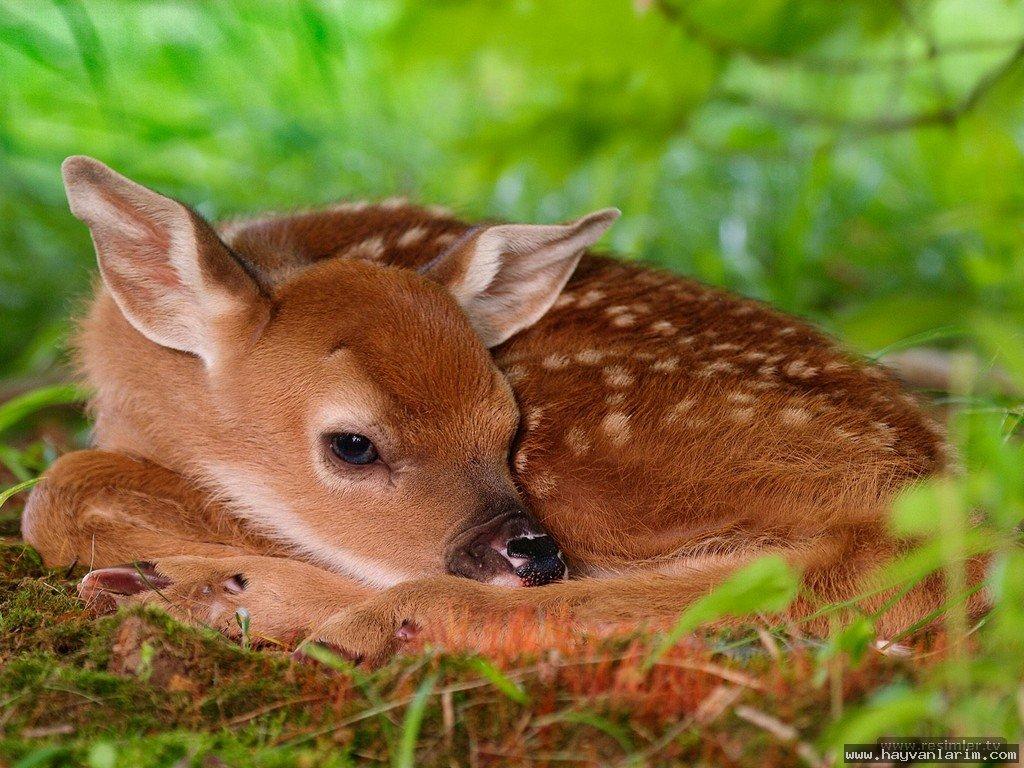 Ala geyik  resmi