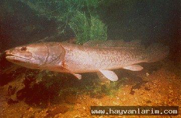 Amia calva balığı