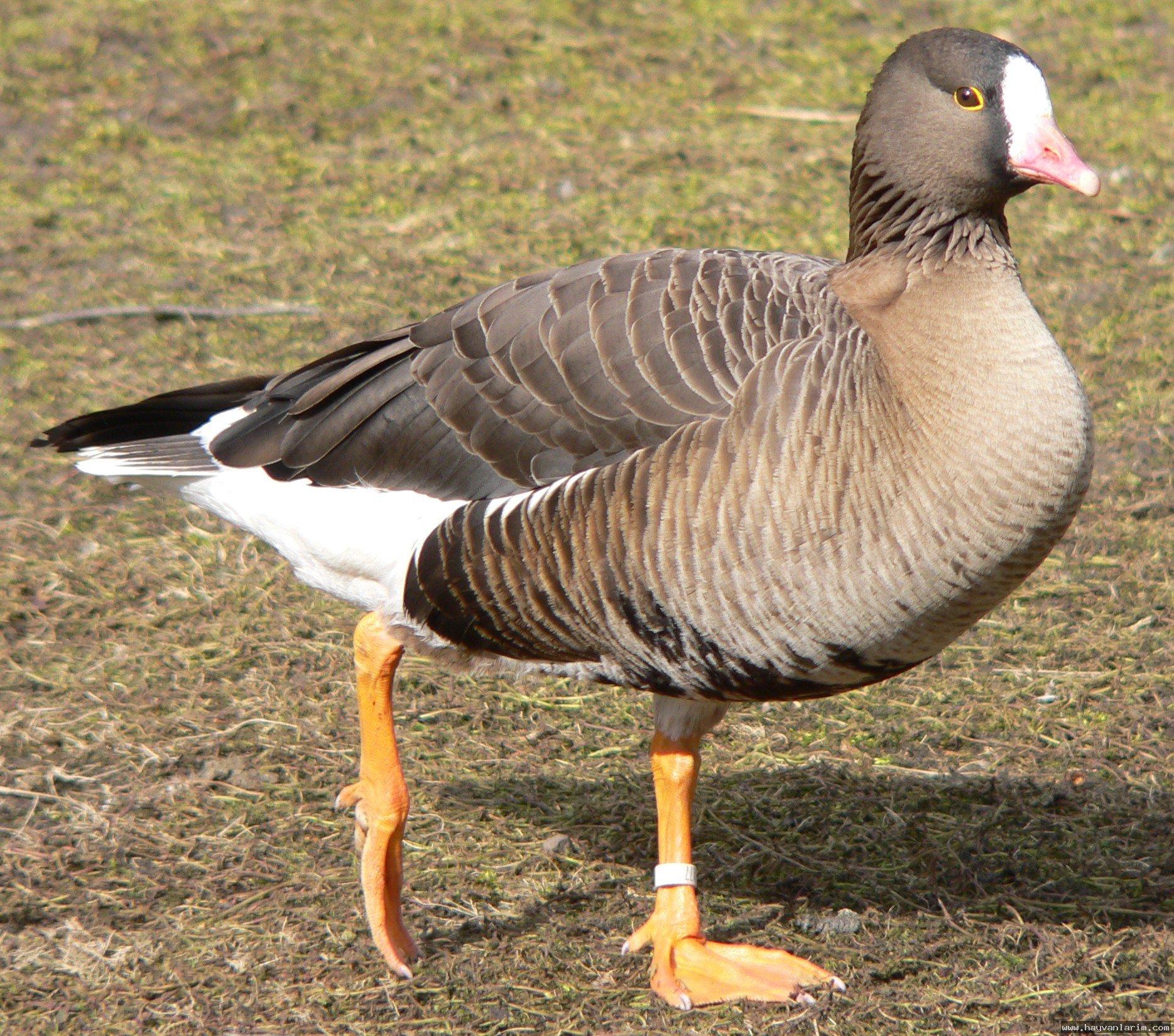 Anser erythropus ördek türü