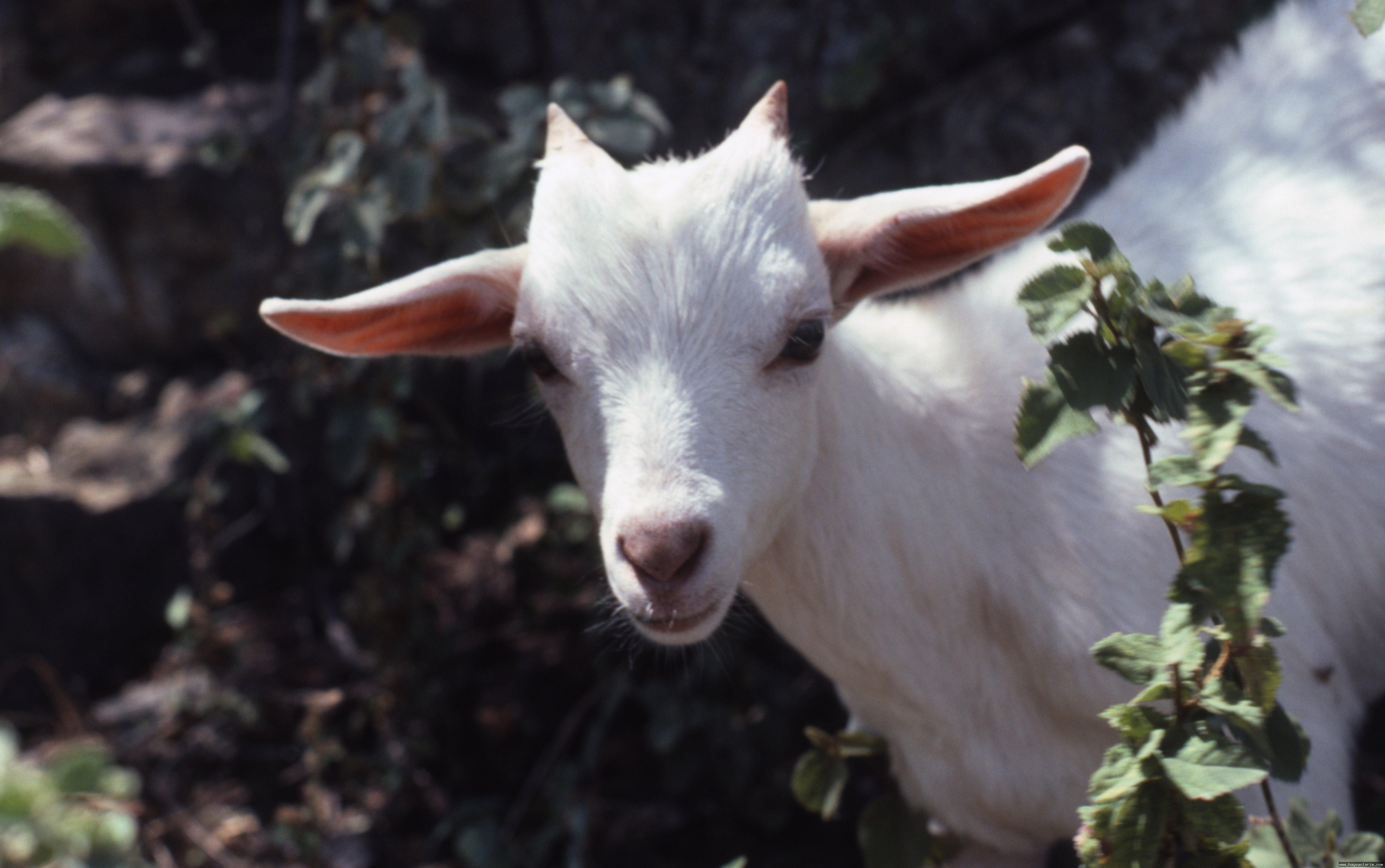 Beyaz Capra aegagrus  dağ keçisi