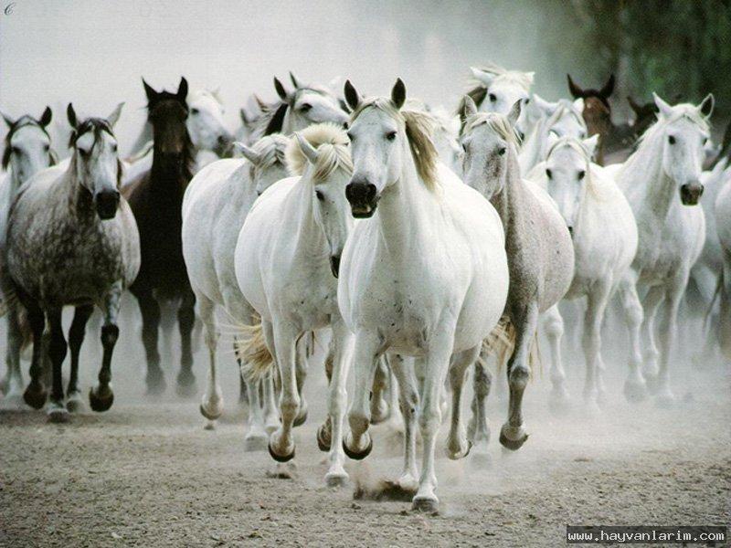 Beyaz at  Sürüsü