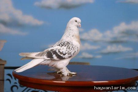 beyaz-guvercin-resmi-ve-gokyuzu