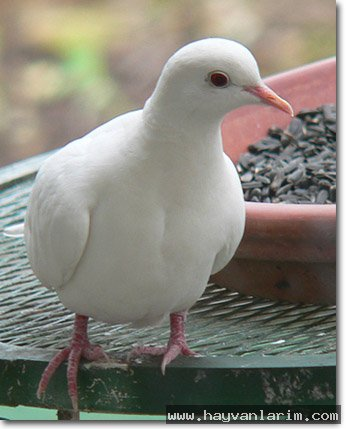 Çok güzel bır kumru güvercini