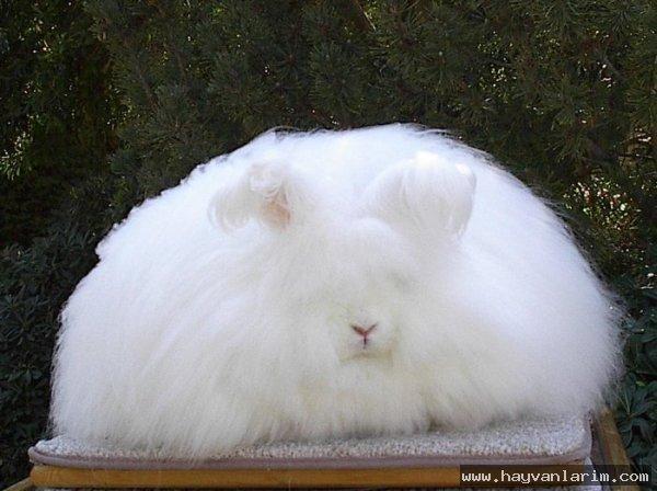 çok Tüylü Tavşan Resmi Karışık Hayvan Resimleri Hayvanlar