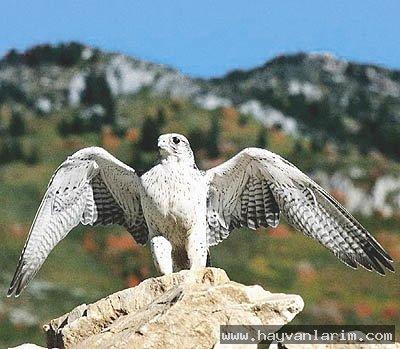 Falco rusticolus  kuşu