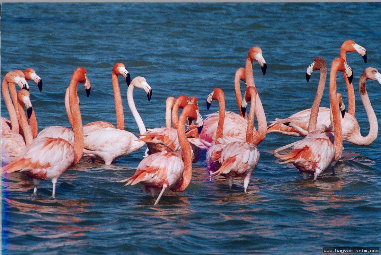 Flamingo sürüsü