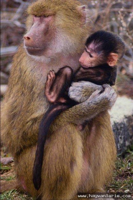 Gezmeye giden maymunlar