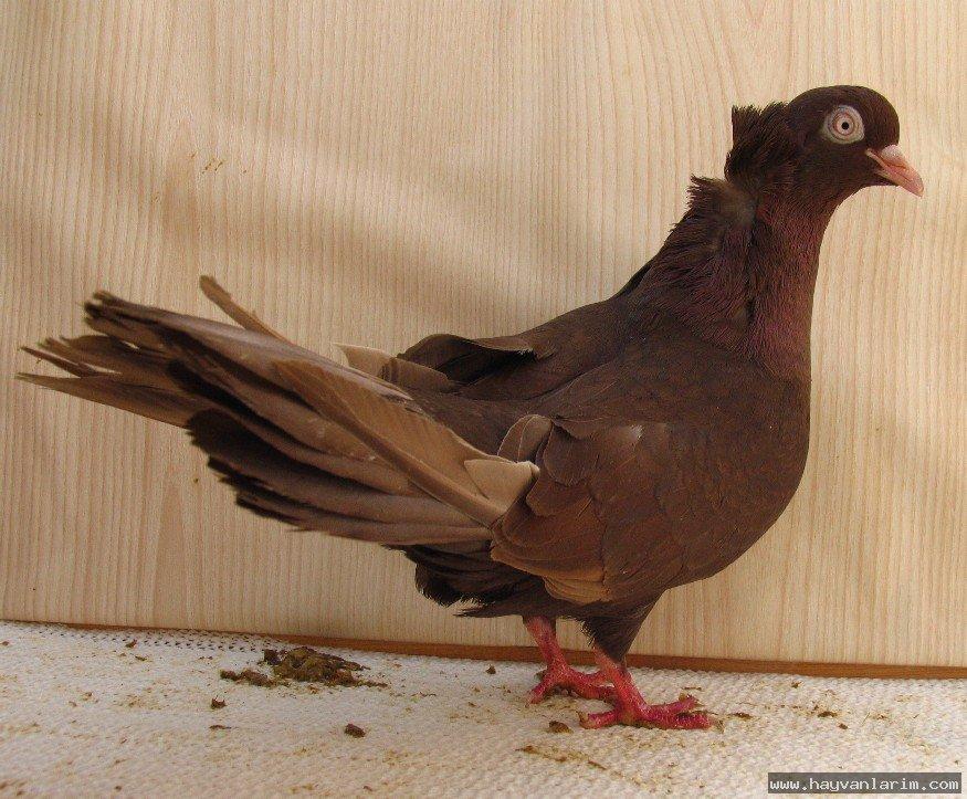Güvercin Trakya ırkları