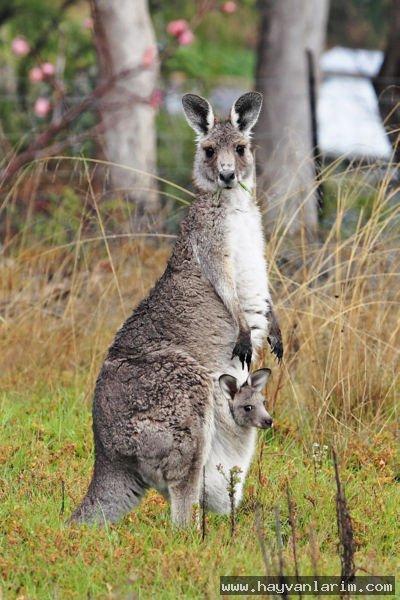 Kanguru  ve yavrusu
