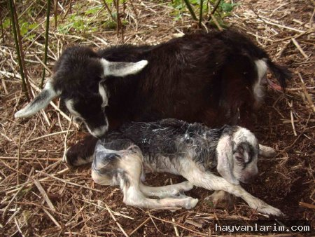 Keçi ve yavrusu