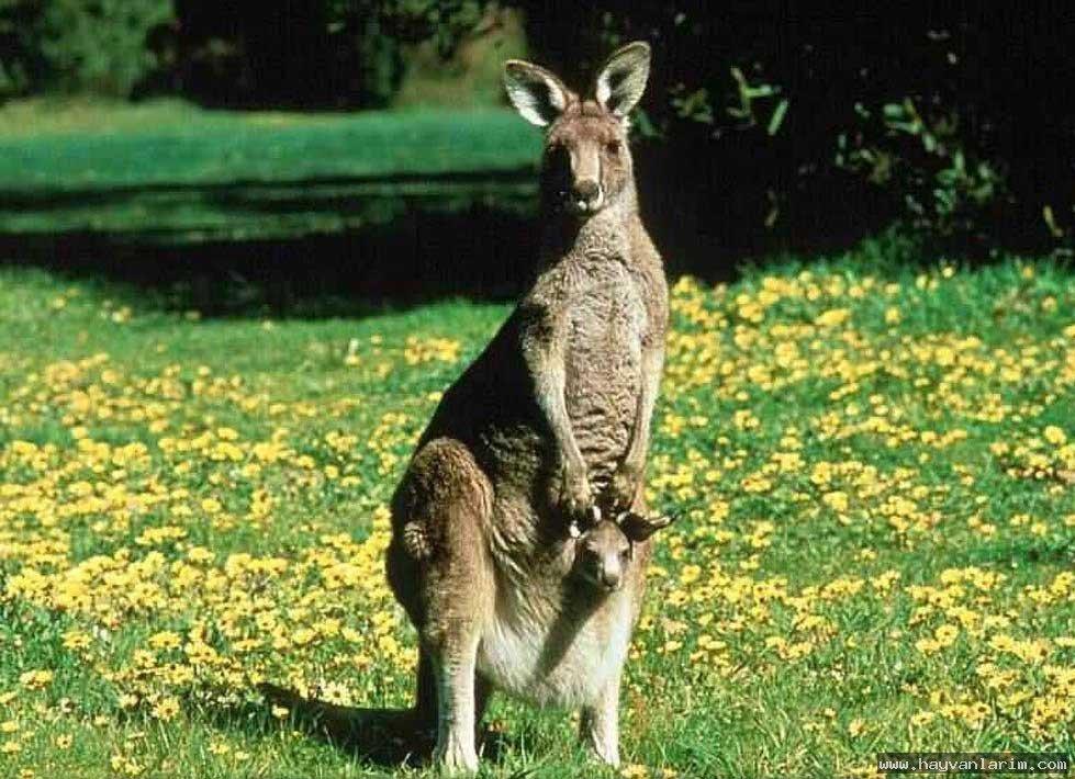 kırda dolşan Kanguru resmi