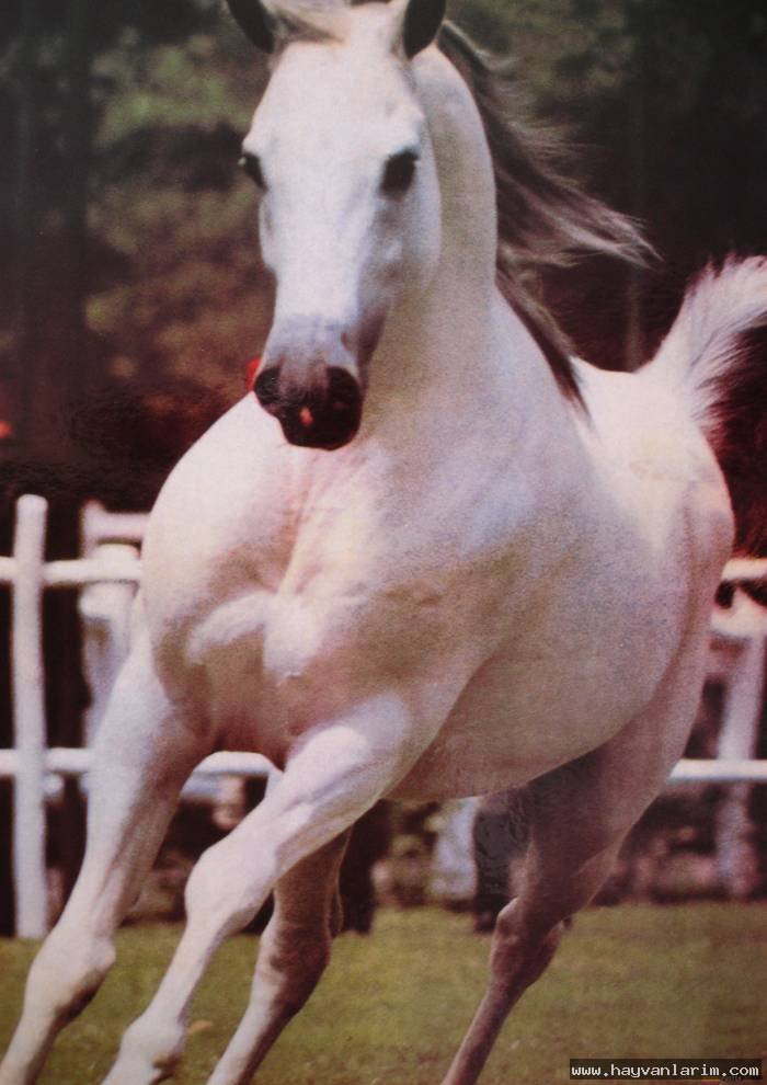 Koşan Beyaz at resimleri