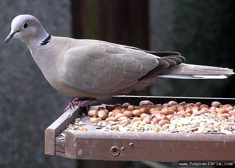 Kumru güvercin