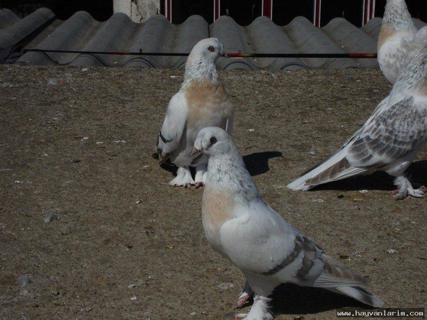 Kürenk güvercin sürüsü