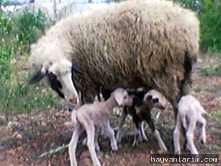kuzular ve anneleri